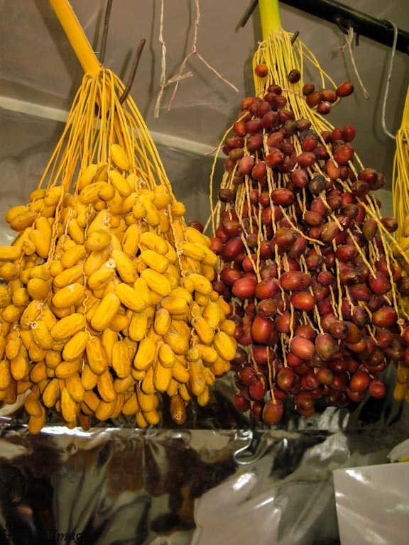 Dates in season in Salamiyya, Syria.