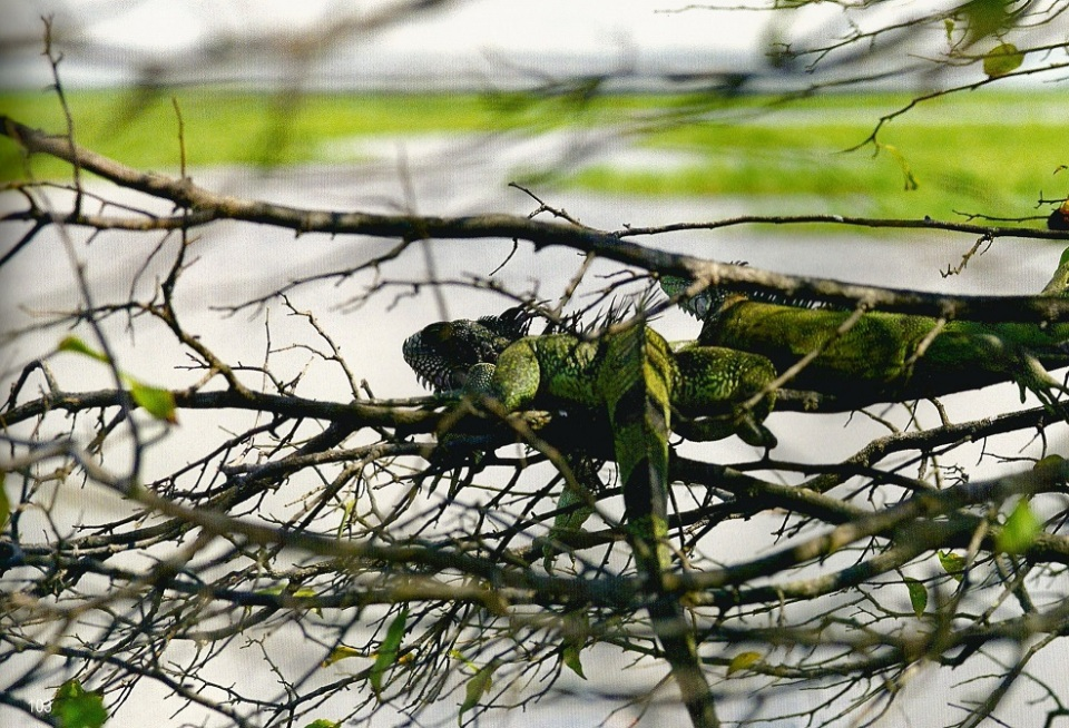 Iguanas in the trees. Photo: Hussain Aga Khan. Copyright.