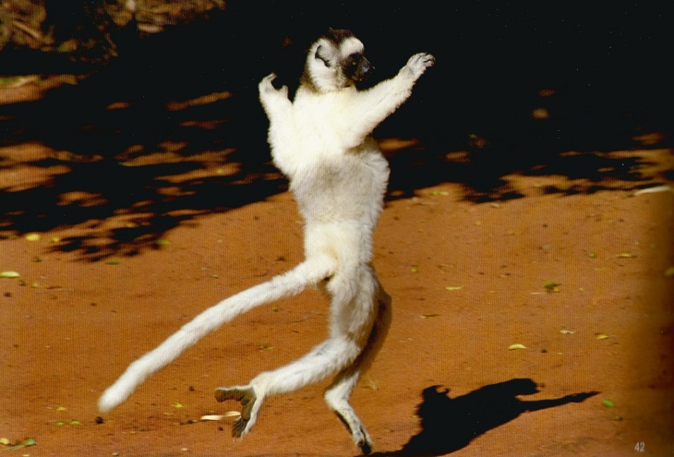 Dancing Verreaux Sifaka. Photo: Hussain Aga Khan. Copyright.