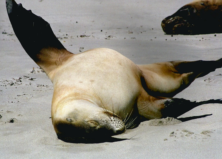 Sea Lions, Kangaroo Island, Australia. Photo: Hussain Aga Khan. Copyright.