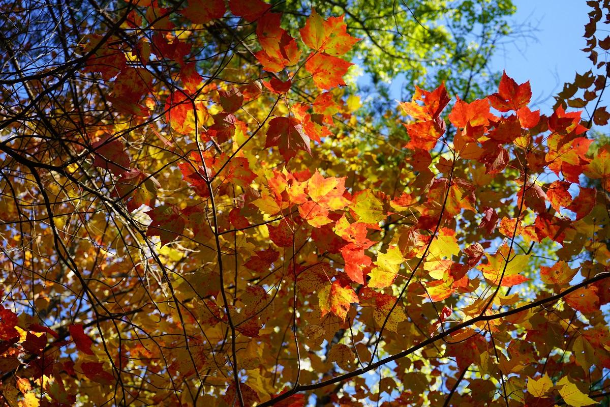 Spruce Bog Boardwalk, Algonquin Park, Ontario, Canada, Autumn 2019, Foliage Simergphotos