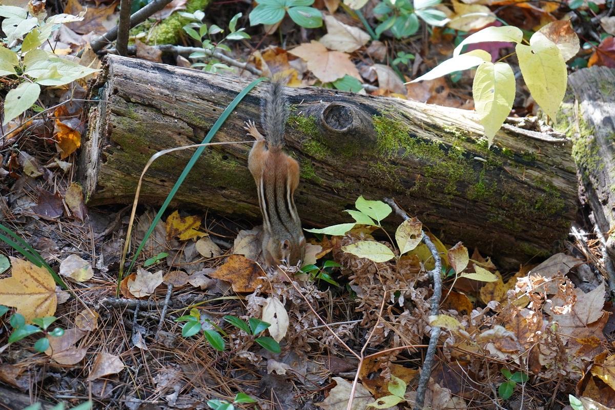 Chipmunk, Spruce Bog Boardwalk, Algonquin Park, Foliage Simergphotos