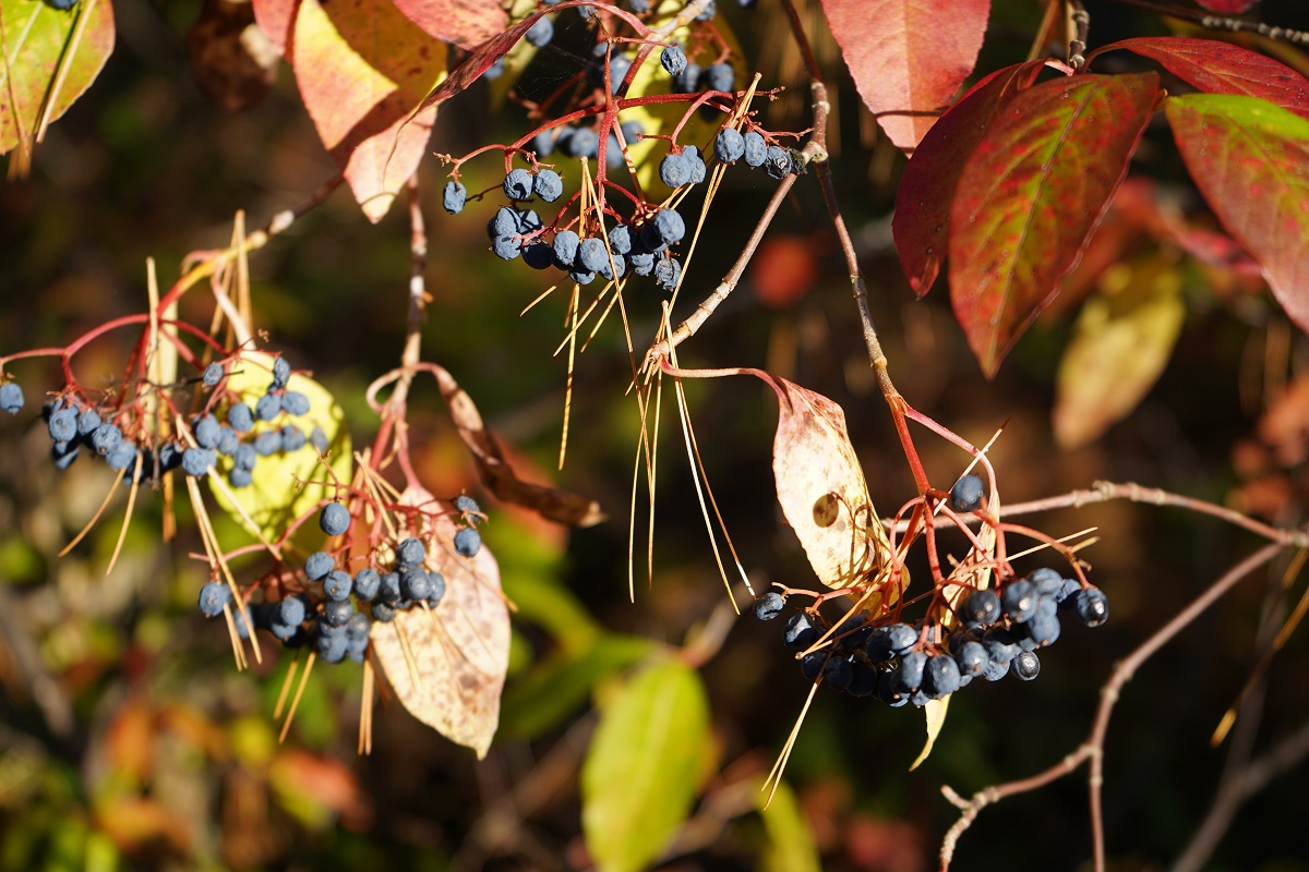 Fruit, Spruce Bog Boardwalk, Algonquin Park, Ontario, Canada, Autumn 2019 Foliage Simergphotos