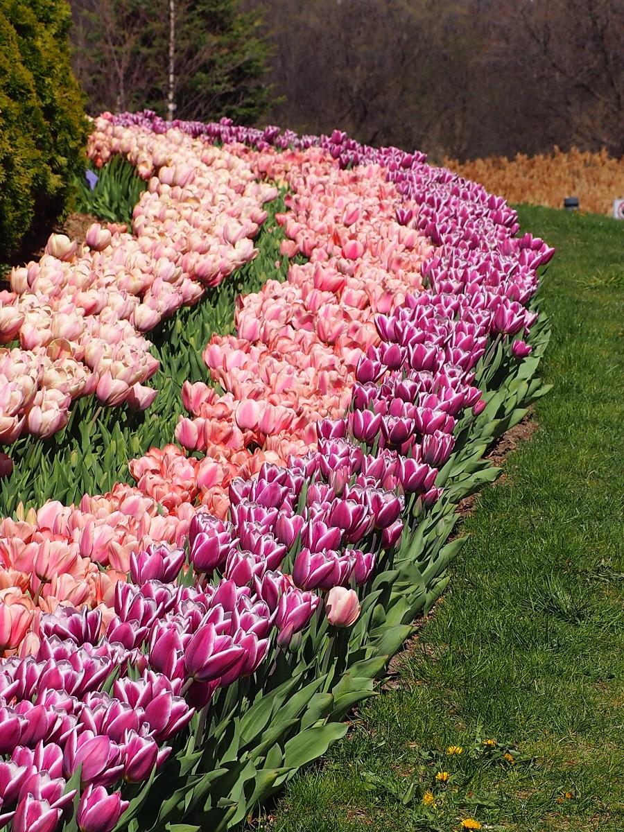 Tulips Aga Khan Park Toronto, Simerphotos Malik Merchant