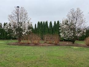 Aga Khan Park's two beautiful magnolia trees numbered 049 and 050. Photo of the Day Malik Merchant Simergphoto