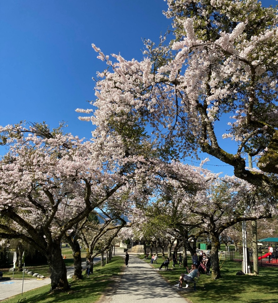 Cherry Blossoms at Burnaby Mountain Park.