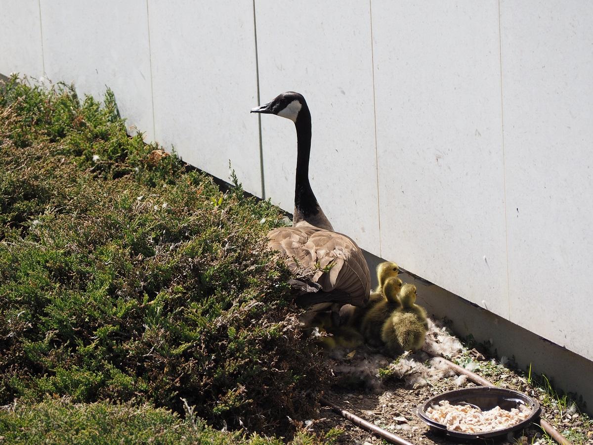 Ismaili Centre Toronto birth of 6 new goslings, Simerg photos Malik Merchant