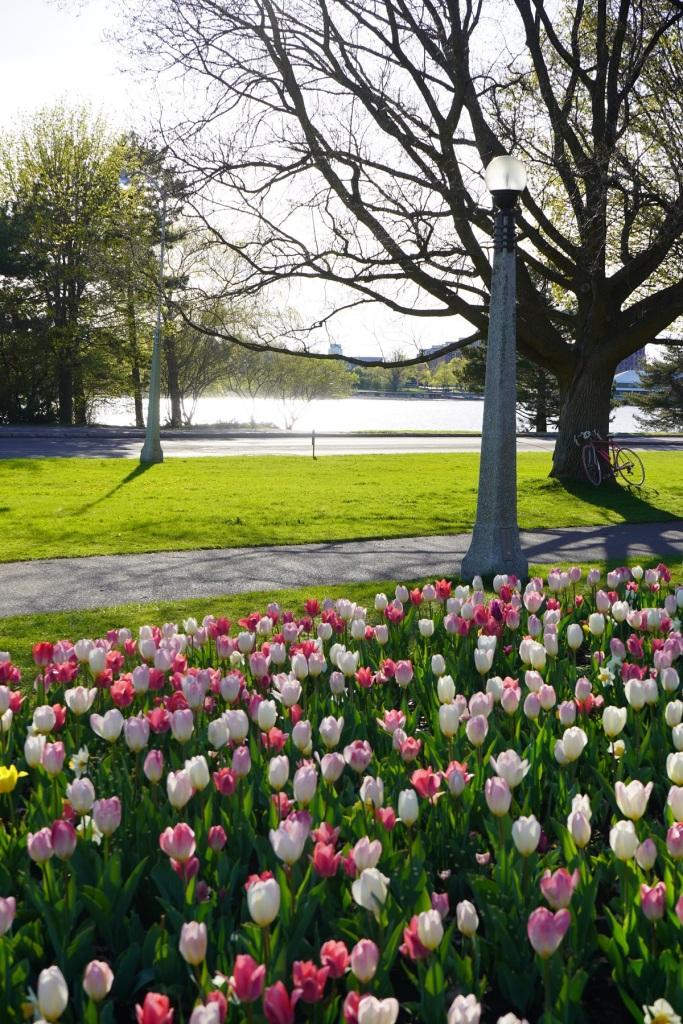 Tulips at Ottawa's Commissioners Park, Nurin Merchant Simergphotos