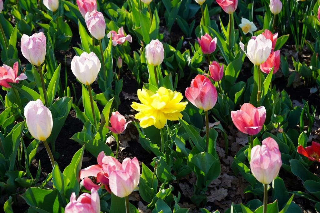 Tulips at Ottawa's Commissioners Park Dows Lake Nurin Merchant simergphotos simerg