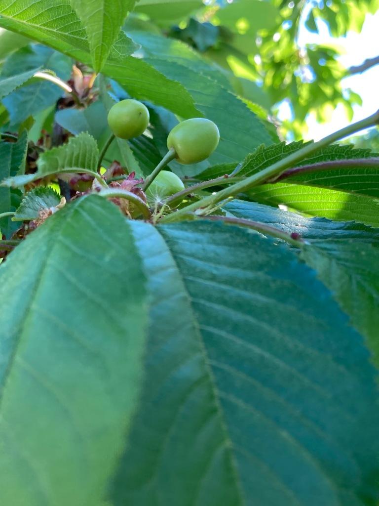 Raw Cherries, Niagara Parkway, Simerg Simergphotos, Photo of the Day Malik Merchant