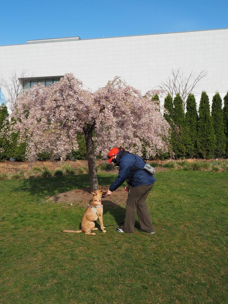 Dog treat Aga Khan Park weeping cherry