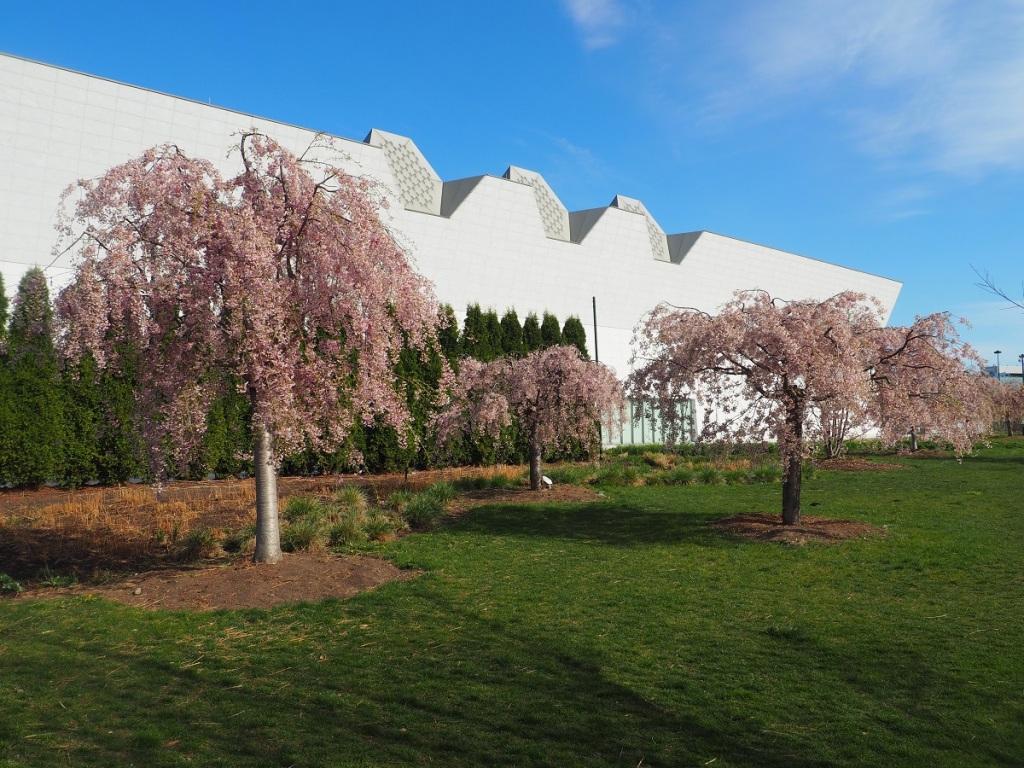 Aga Khan Museum, Aga Khan Park, Weeping Cherry