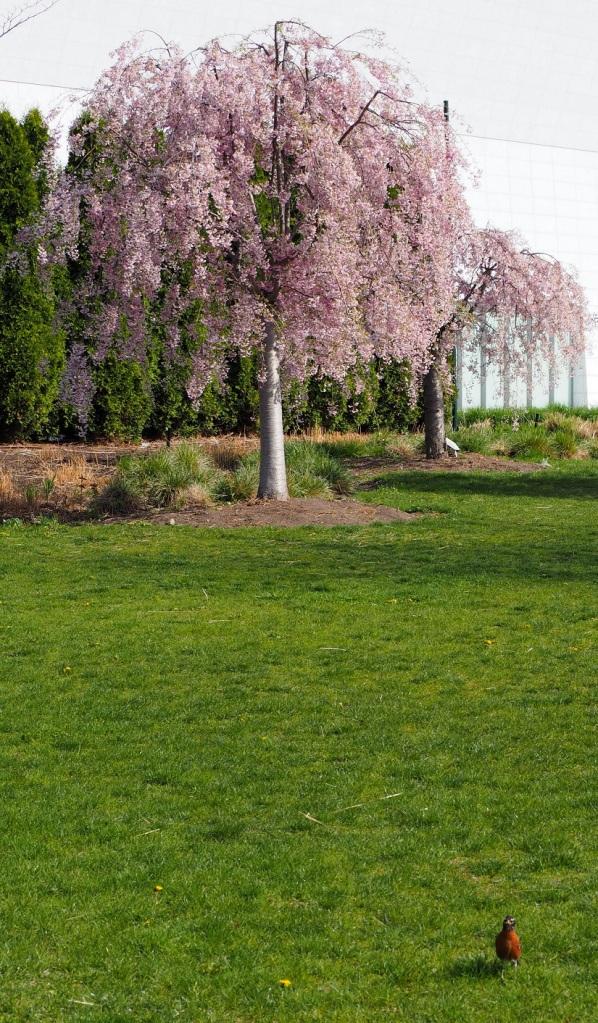 weeping cherry bird aga khan park