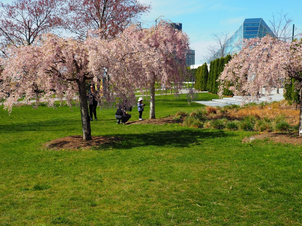 weeping cherry at aga khan park simerg photos photo of the day