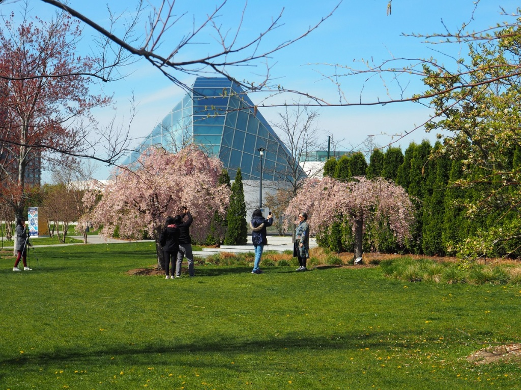 weeping cherry pink pastels aga khan park, simerg photos photo of the day