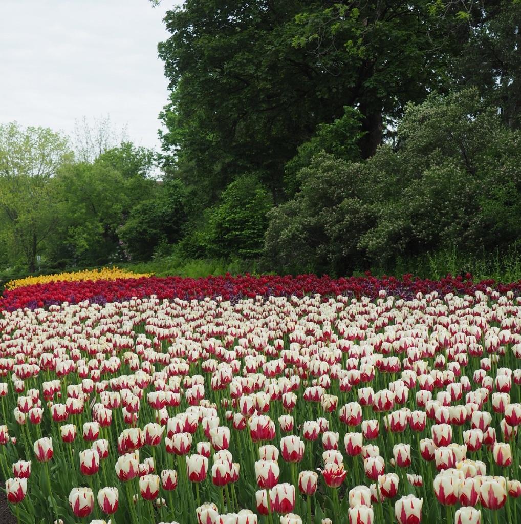 Dows Lake Tulips