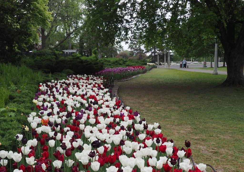 Tulips at Dows Lake