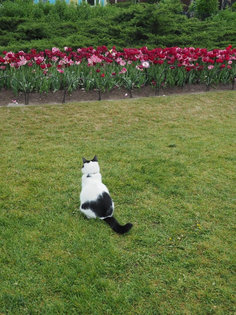 Cat at Tulip Show Simerg Photos Malik Merchant