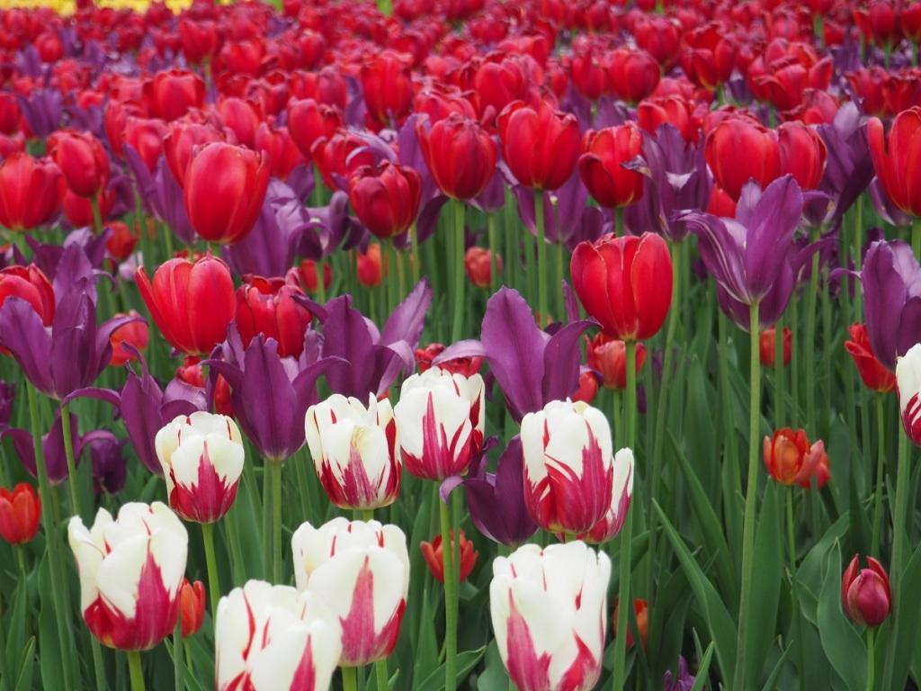 Tulips Commissioners Park and Dows Lake, Simerg Photos Malik Merchant