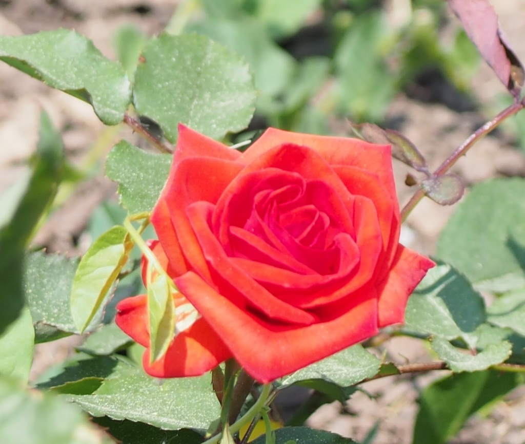 A Rose Niagara Parks Botanical Gardens