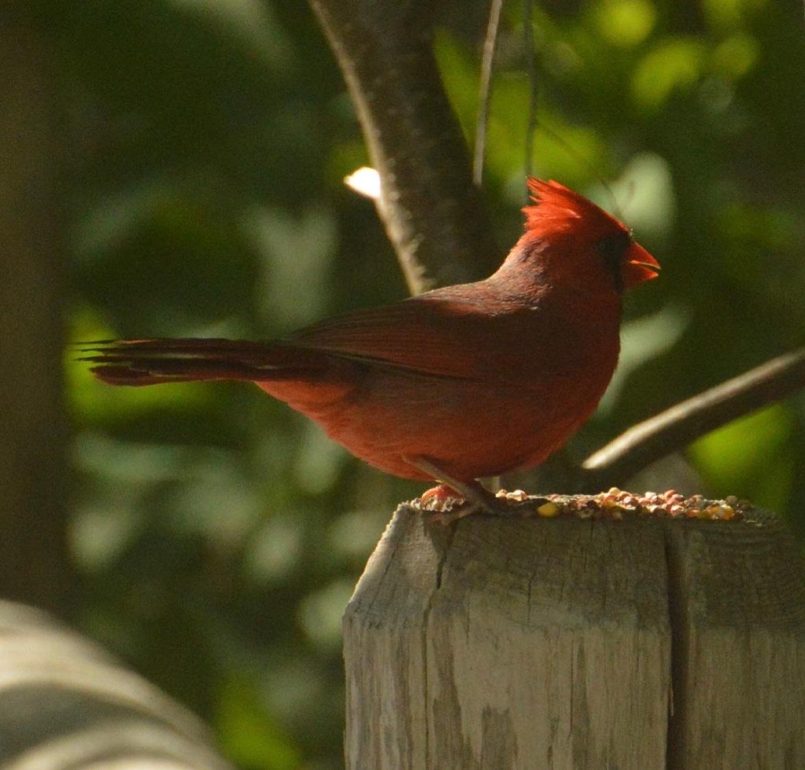 Cardinal, East Don Trail, June 2021. © Shannon Doern.