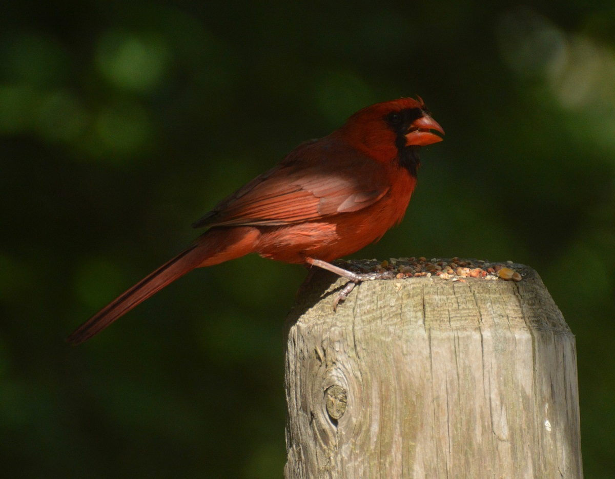 Cardinal, East Don Trail, May-June, 2021. © Shannon Doern.