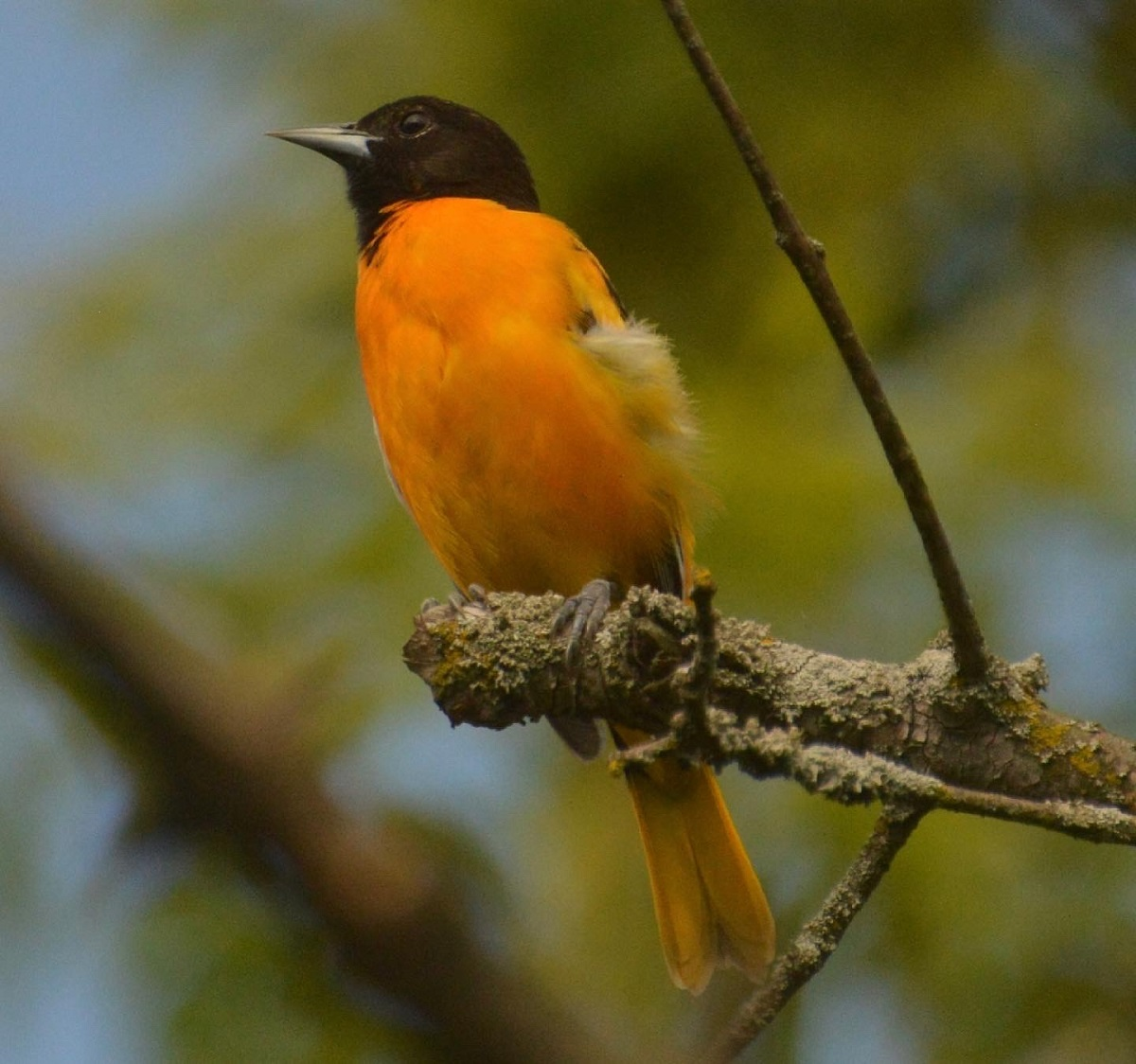 Male Baltimore Oriole, East Don Trail, May-June, 2021. © Shannon Doern.