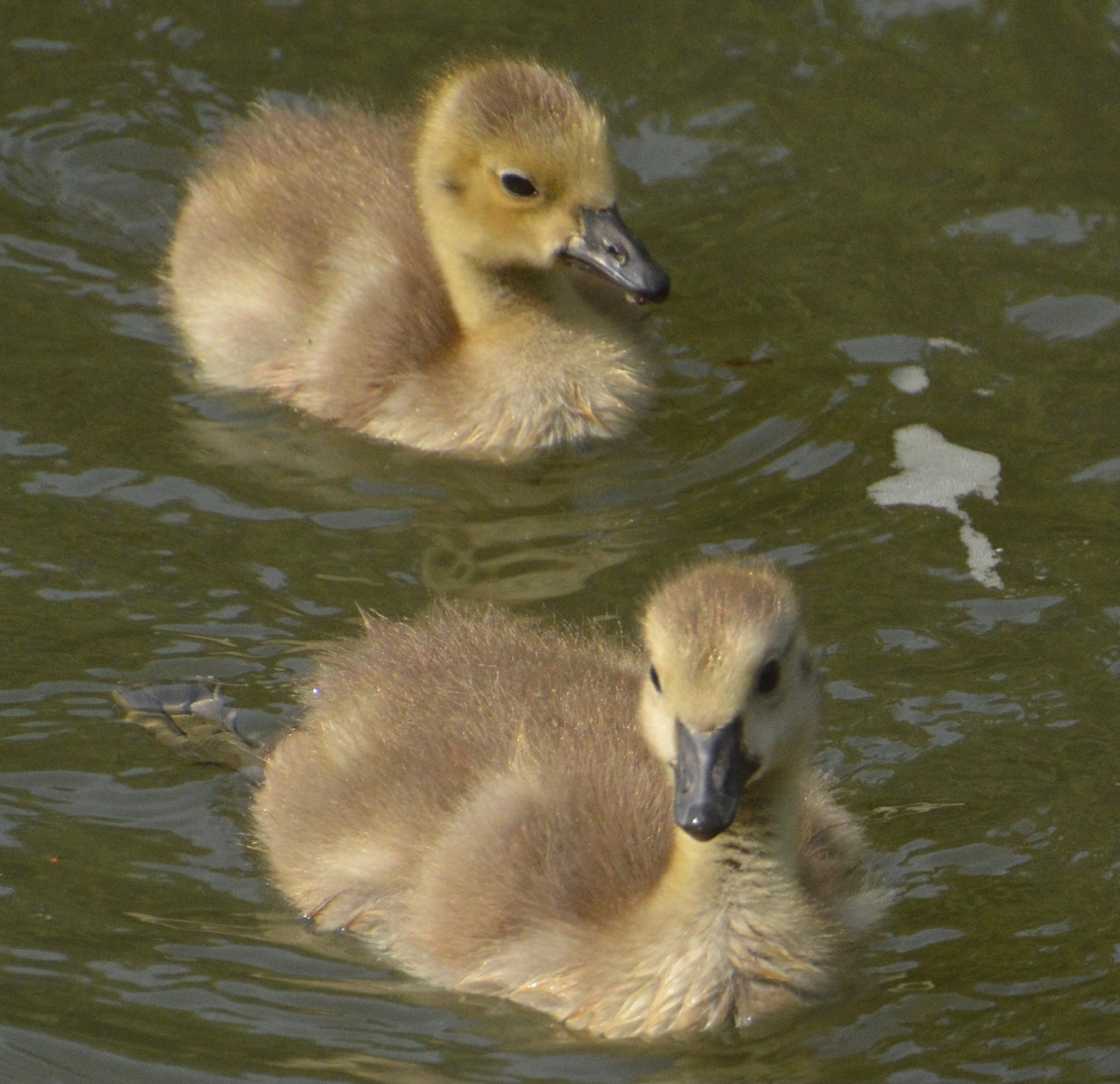 Ducklings, East Don Trail, May-June, 2021. © Shannon Doern.