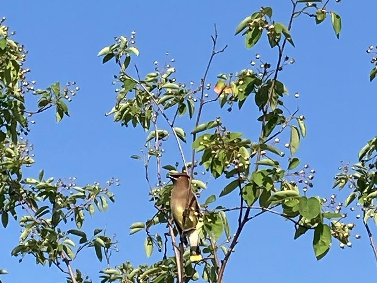 Cedar waxwing, Aga Khan Park,