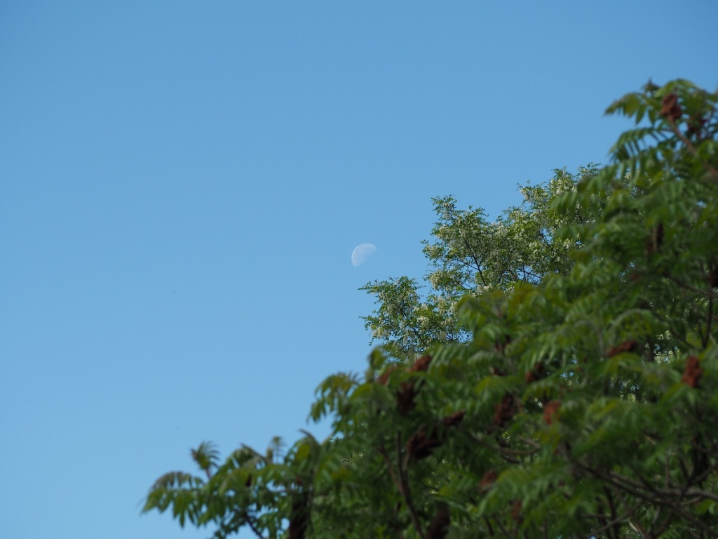 Daylight moon, a waning crescent with an illumination of 48%, seen above trees at the East Don Trail