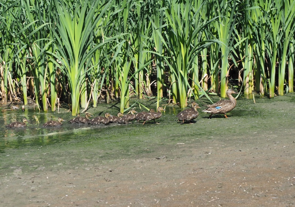 A female mallard leads her 12 little ducklings through a swamp in the East Don Trail