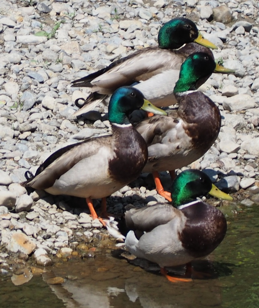 Four beautiful male mallards stand by the bank of Don River that passes through East Don Trail, simerg malik merchant