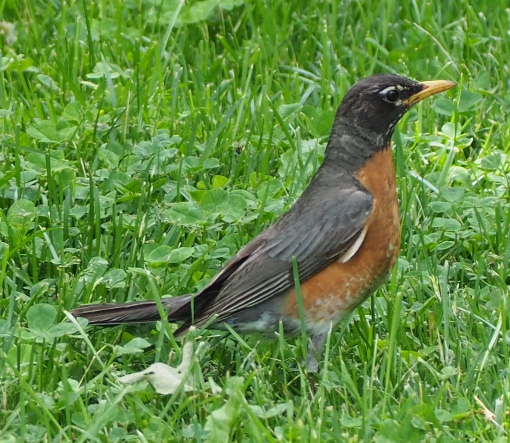 A beautiful robin at East Don Trail.