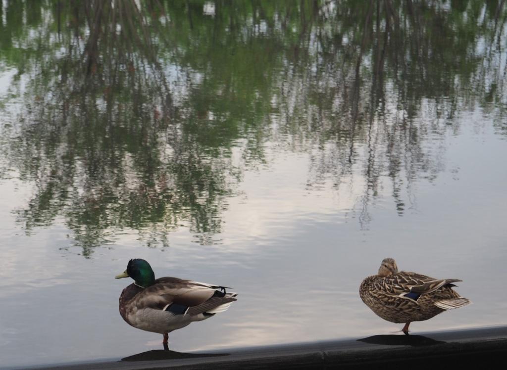 Mallards Aga Khan Park pond