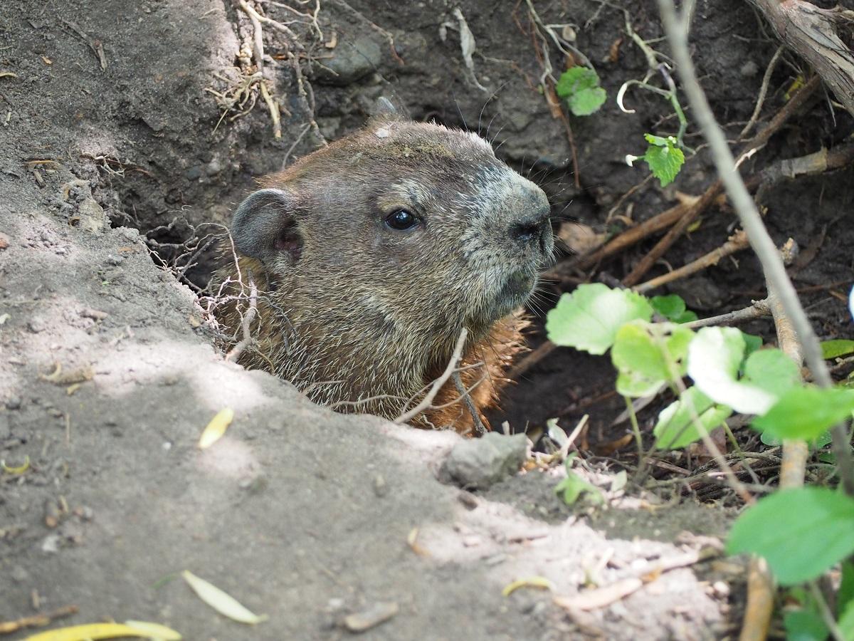 Groundhog, East Don Trail
