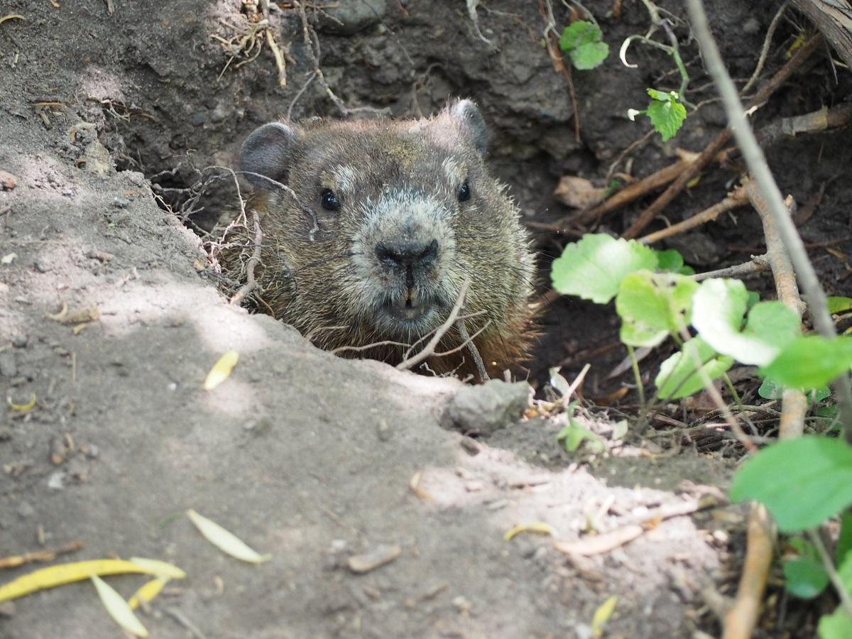 Groundhog, East Don Trail.