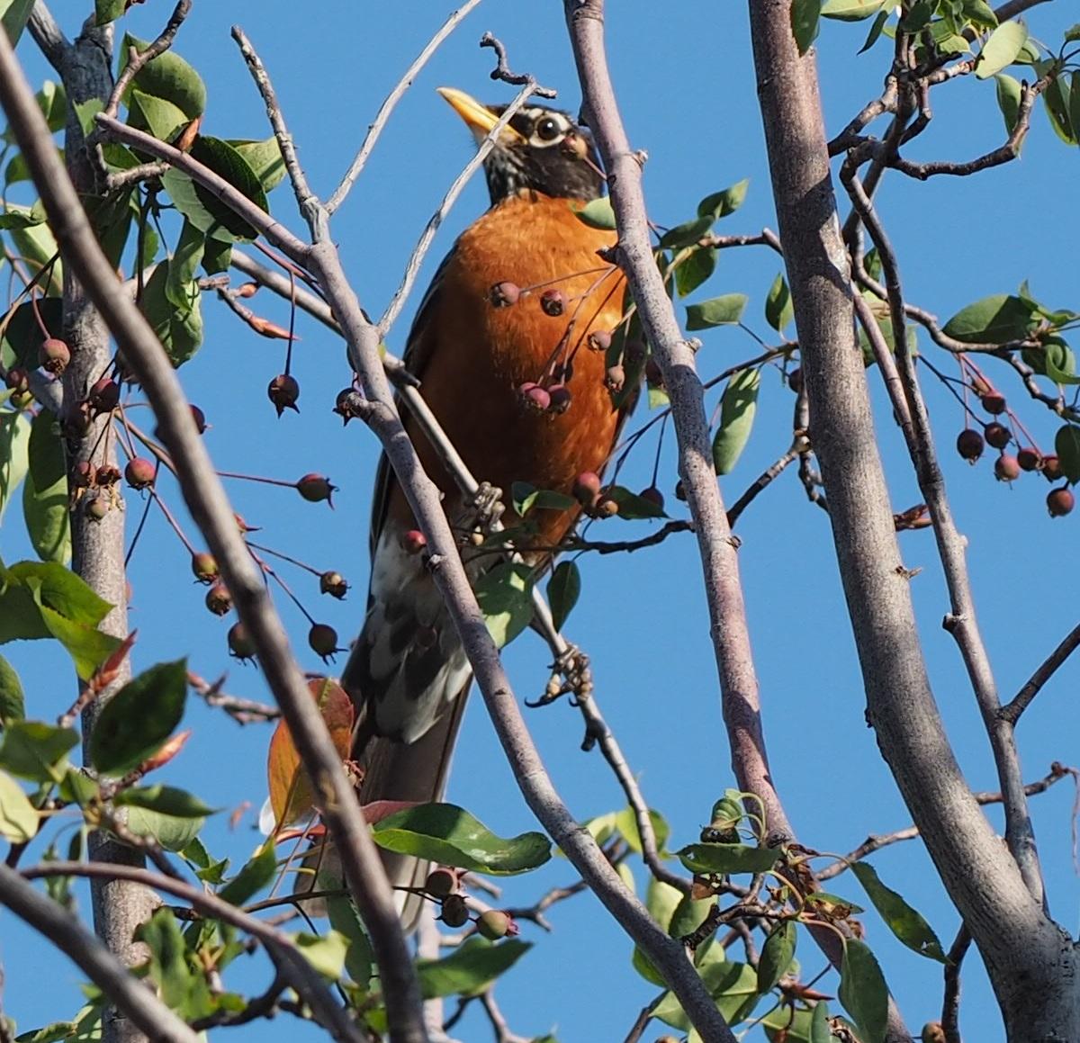 Cedar waxwing, Aga Khan Park, Simergphotos, Photo of the Day