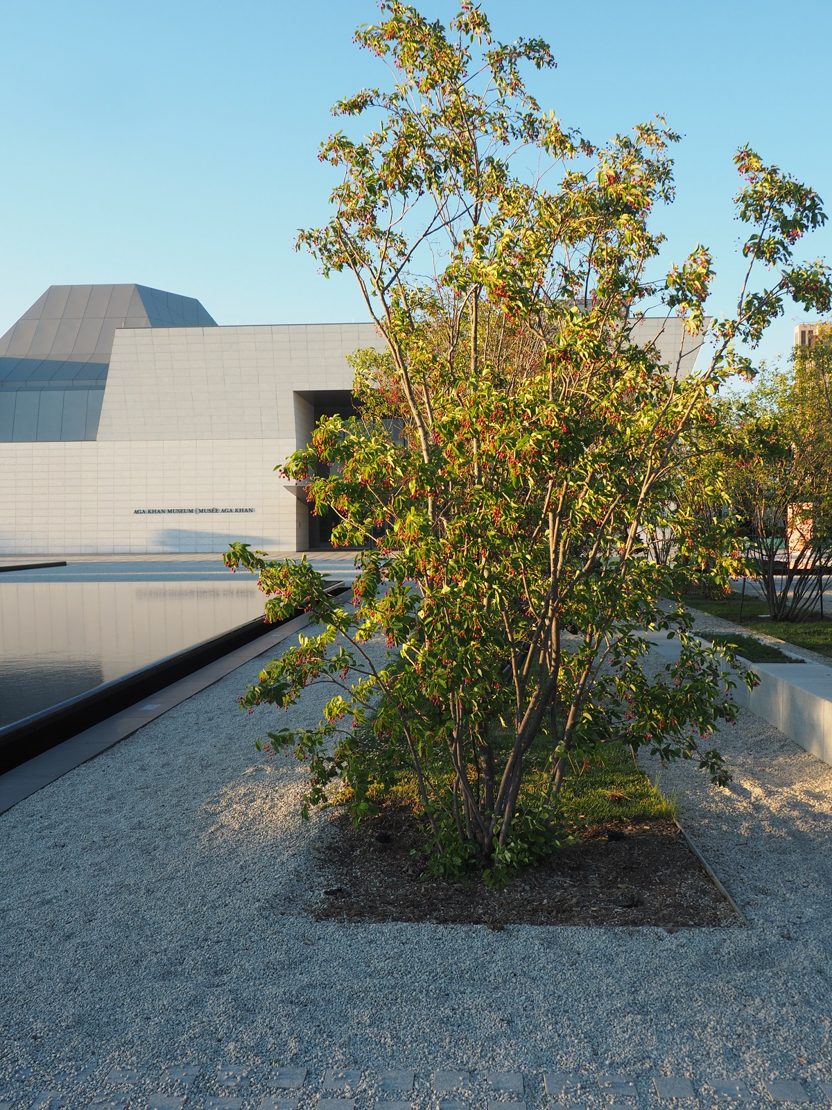 A photo of the entire service berry tree at Aga Khan Park bearing the largest concentration of the fruit Aga Khan Park Simerg Photos Photo of the Day