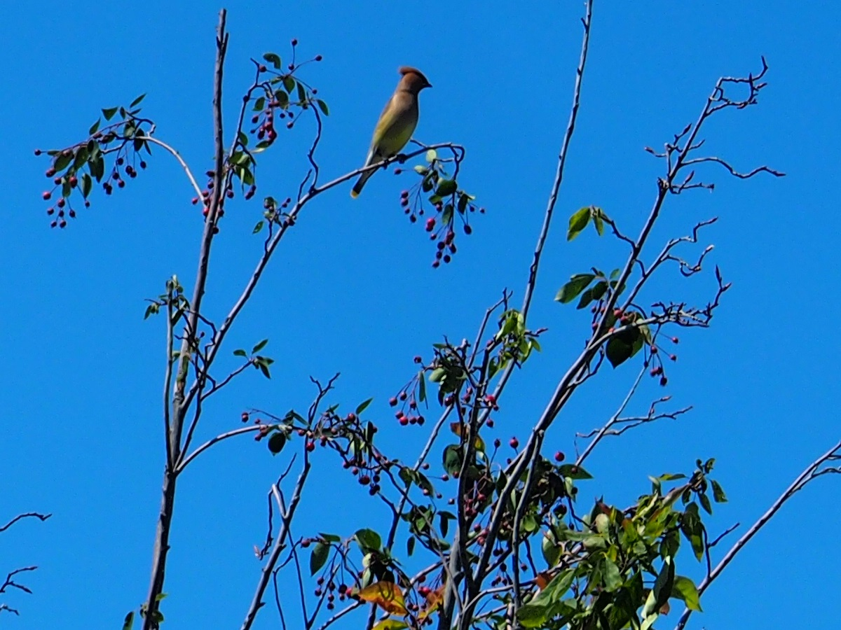 Photo of the Day, Aga Khan Park, Bird Service Berry Treet