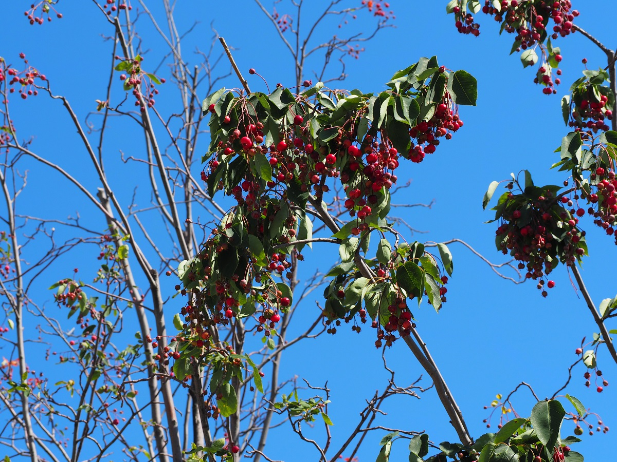 Sweet edible service berries at Aga Khan Park, in front of the Aga Khan Museum.