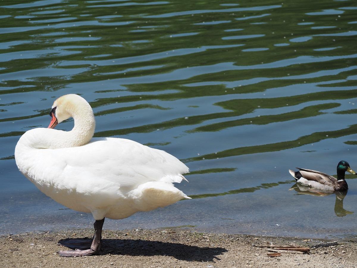 Swan, High Park, June 21, 2021.
