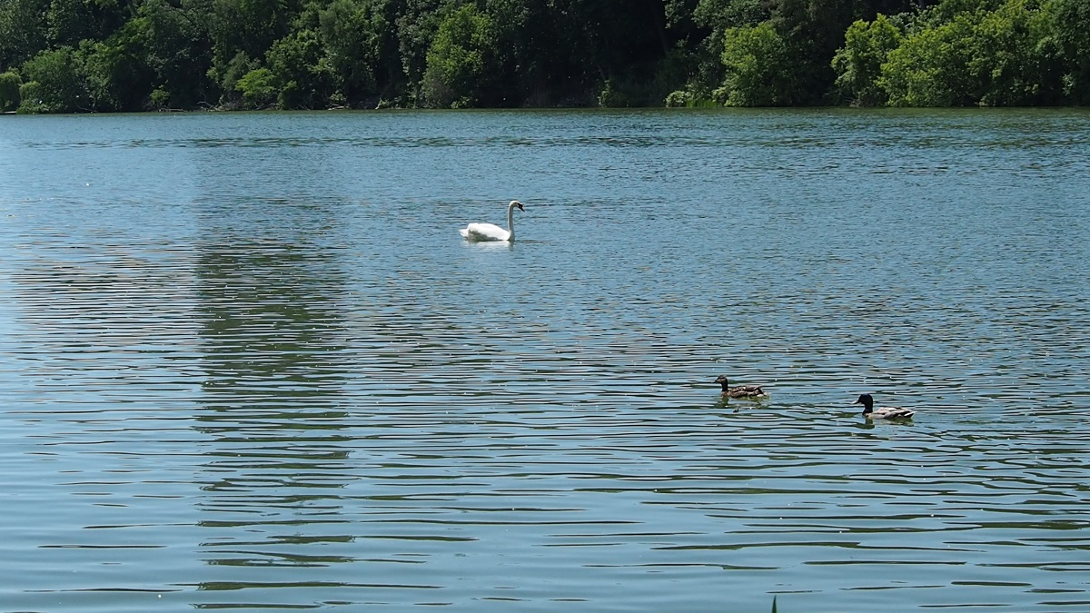 Swan in the middle of Grenadier Pond at High Park