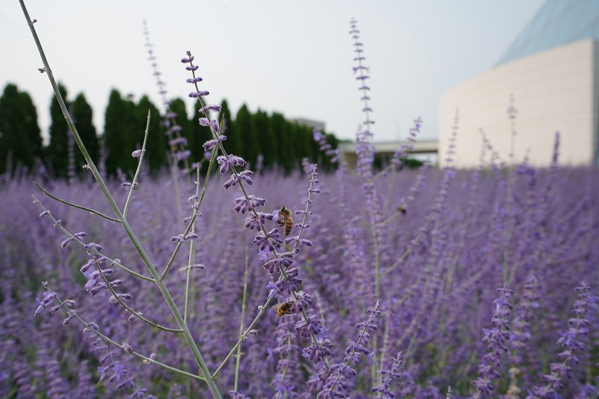 Honey bees at Aga Khan Park