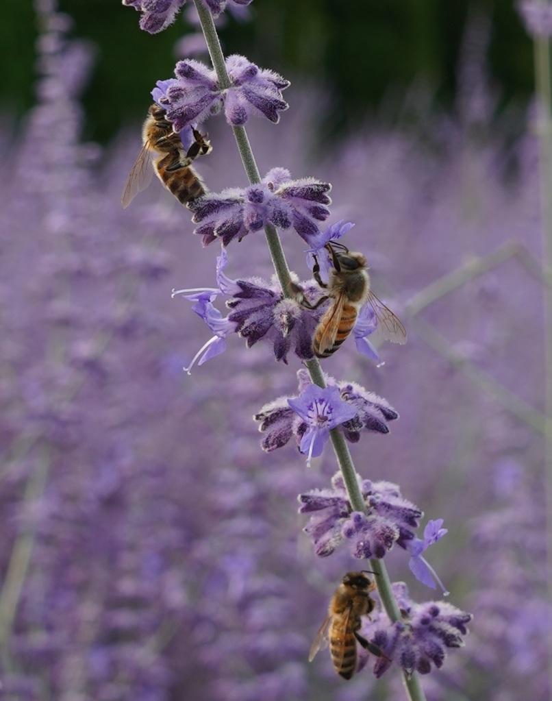 Honey bees pollinating on Russian Sage flowers, Aga Khan Park, Toronto. July 25, 2021. Photo: © Nurin Merchant/Simergphotos.
