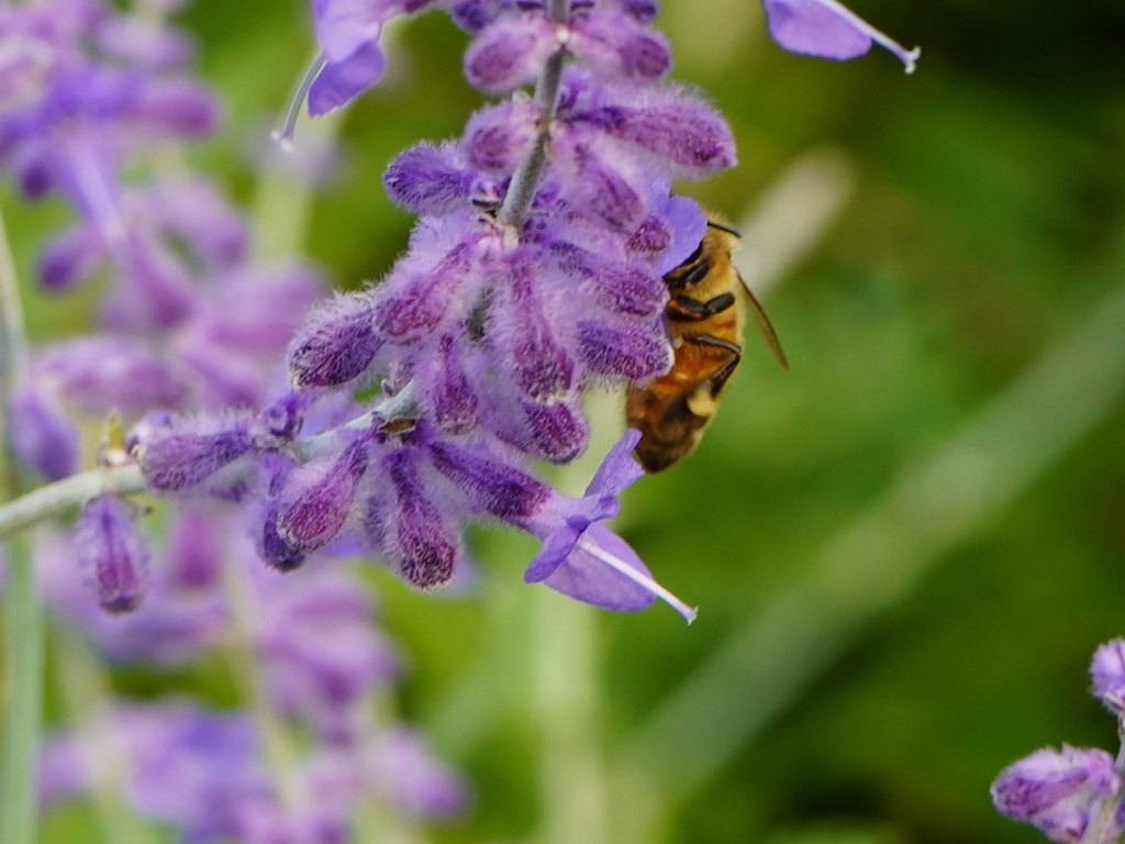 Honey bee pollinating on Russian Sage flower at Aga Khan Park, Toronto. July 25, 2021. Photo: © Nurin Merchant/Simergphotos.