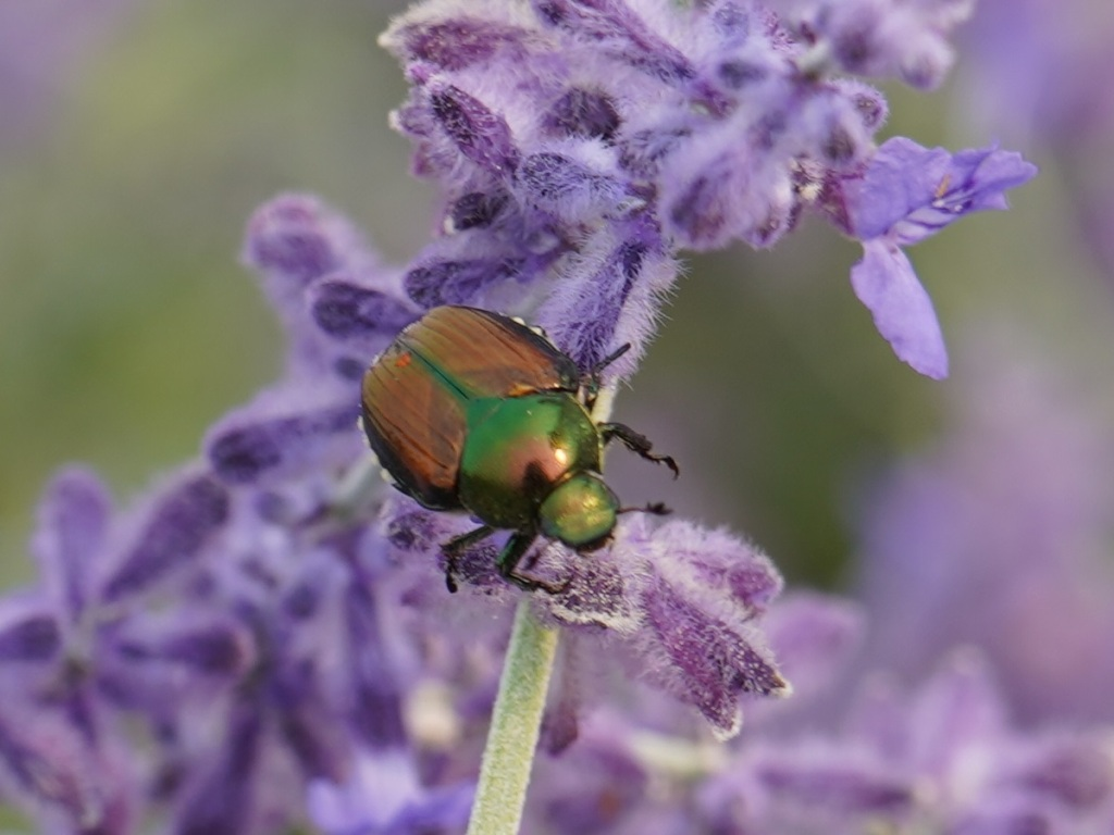 Colourful insect on Russian Sage at Aga Khan Park in Toronto. July 25, 2021. Photo: © Nurin Merchant/Simergphotos.