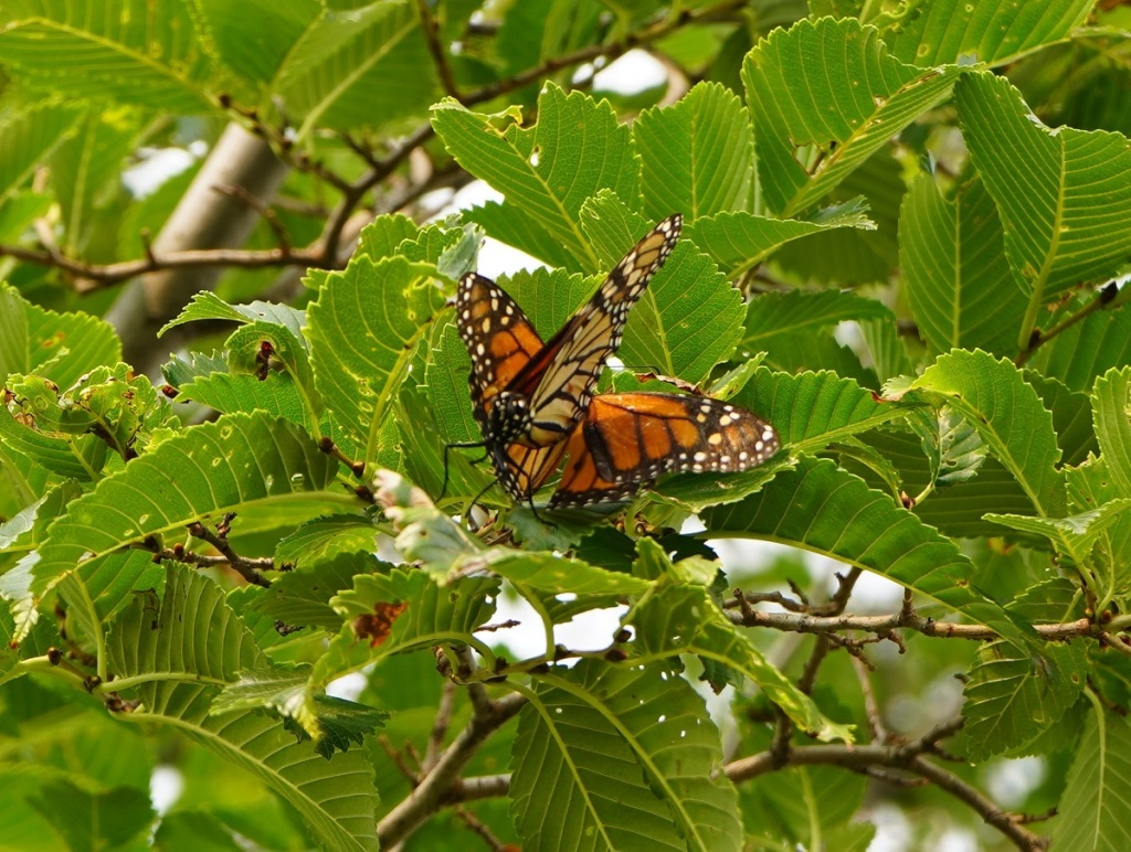 Butterflies on tree at Aga Khan Park. July 25, 2021. Photo: © Nurin Merchant/Simergphotos.
