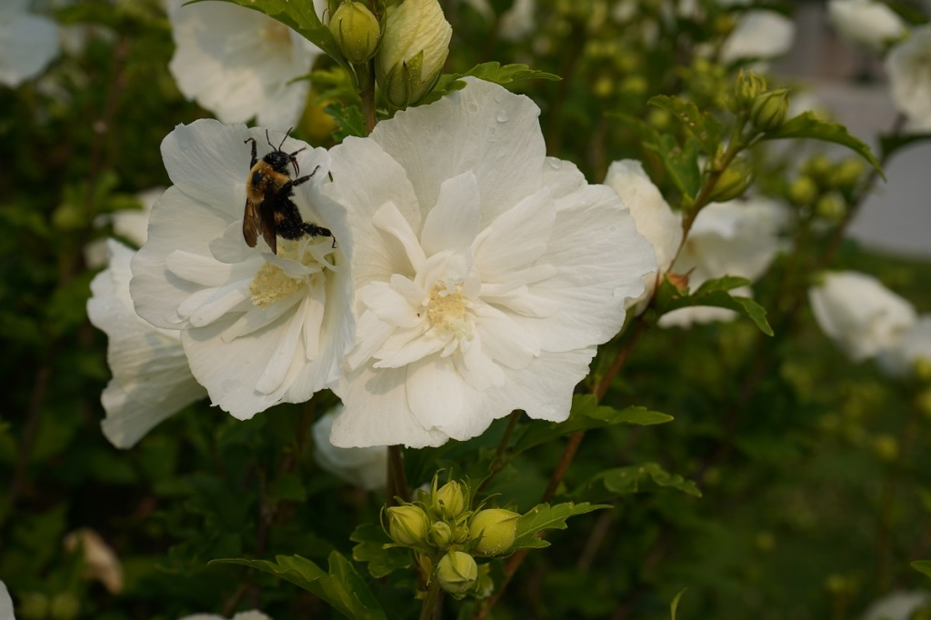 Bumble bee in flower at Aga Khan Park. July 25, 2021. Smergphotos Nurin Merchant