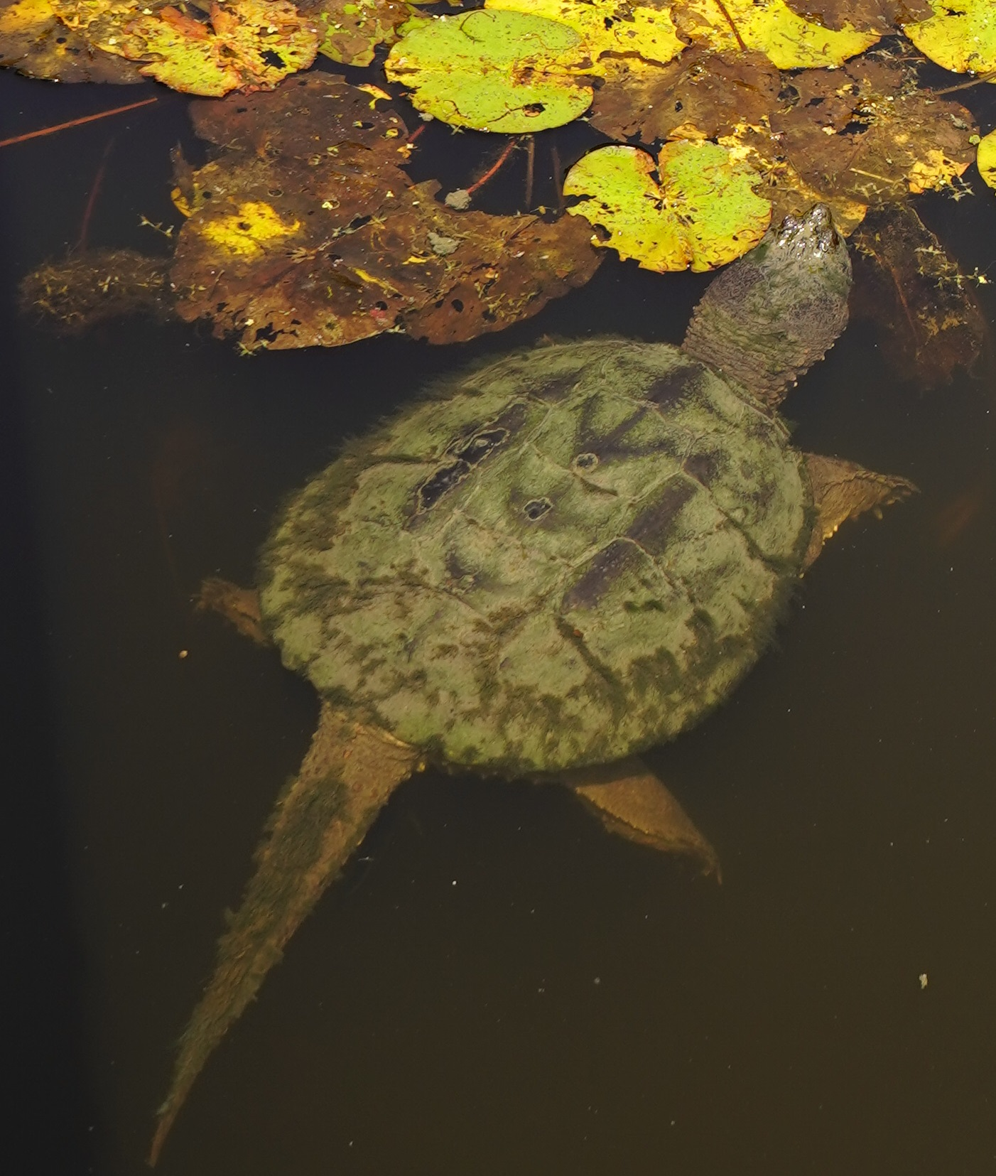 snapping turtles toronto evergreen works