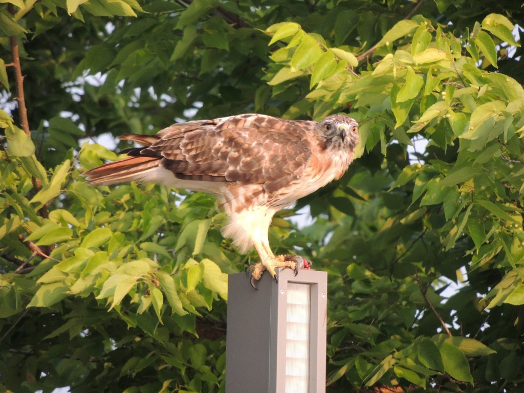 A hawk sighting at Aga Khan Park, August 7, 2021. Staring down at the photographer, with its prey by its claws. Photo: © Malik Merchant/Simergphotos.